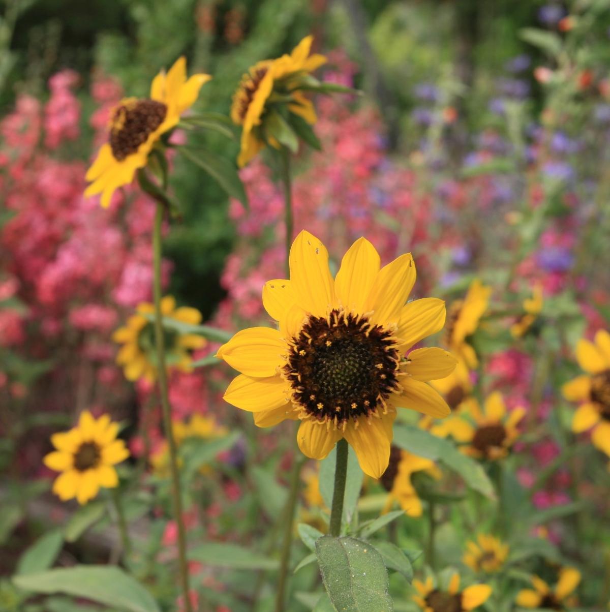 Helianthus bolanderi (serpentine sunflower)